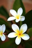 Frangipani. (plumeria) with brick background stock images