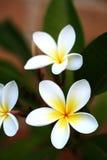 frangipani Стоковые Изображения