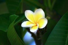 frangipani Стоковые Фото