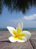 Frangipani. On the beach, thailand samui stock image