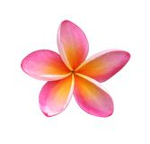Frangipani. Flower isolated on white - clipping path included royalty free stock photo