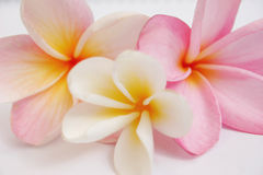 Frangipani. The three colours of frangipani royalty free stock photo
