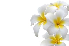 Frangipani. (Plumeria) flower frame isolated on white background royalty free stock image