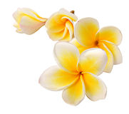 Frangipani. Flower on white background stock image