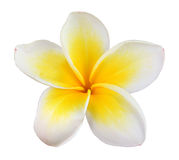 Frangipani. Flower on white background stock photography