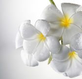 Frangipani Royalty Free Stock Photography