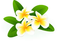 Frangipani. Royalty Free Stock Photo