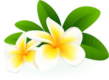 Frangipani. stock photo