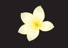 Frangipani. Vector illustration of frangipani on dark background Royalty Free Stock Photography