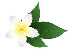 Frangipani. Vector illustration of frangipani with leaves Royalty Free Stock Images