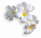 Frangipani. Tropical flowers from deciduous tree, plumeria royalty free stock photos