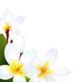 Frangipani. Isolated On White Background, Vector Illustration Royalty Free Stock Photo