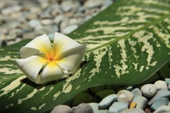 Frangipani. And leaf, taken at a Thai Spa Stock Image
