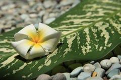 frangipani Стоковое Изображение