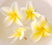 Frangipani. A spa image of frangipani flowers in water stock photos
