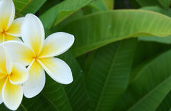 Frangipani. Tropical flowers, green leafs royalty free stock photos