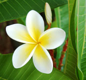 Frangipani. Close-up of beautiful frangipani flowers royalty free stock photos