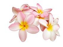 frangipani Стоковая Фотография