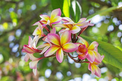 Frangipani Photo stock