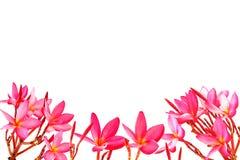 Frangipani. Isolated on white background Stock Images