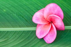 Frangipani. Pink Tropical frangipani on leave in spa Royalty Free Stock Photo