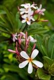 Frangipani Image stock