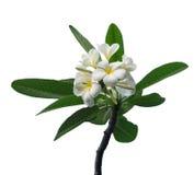 Frangipani. White and yellow frangipani flowers with leaves,isolated on white background Royalty Free Stock Photo
