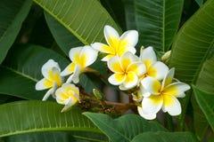 Frangipani Stock Fotografie