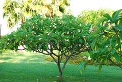 Frangipani Stock Images
