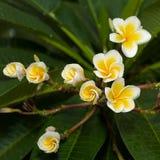 Frangipani Fotografia de Stock Royalty Free