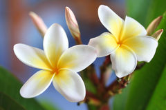Frangipani #4. Glorious frangipani (plumeria), in natural light stock photography