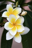Frangipani. Tropical flowers from deciduous tree, plumeria royalty free stock image