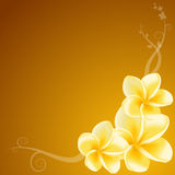 Yellow Frangipani Flowers Royalty Free Stock Photography