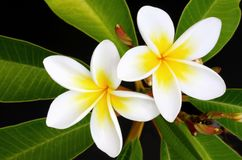 Frangipani. Glorious frangipani (plumeria) tropical flowers, with black background royalty free stock photography