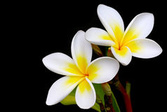 Frangipani. Glorious frangipani or plumeria flowers, with black background royalty free stock photo