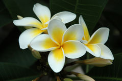 Frangipani. Image taken of some frangipani flowers in tropical queensland Australia stock photos