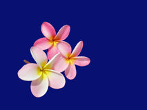 Frangipani. Three pink Frangipani flower blossoms isolated on blue background Royalty Free Stock Photos