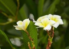 Frangipani Images stock