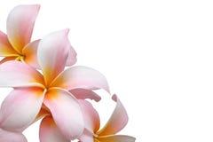frangipani Photos libres de droits