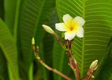 Frangipani Image libre de droits