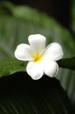 frangipani Стоковые Изображения RF