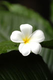 frangipani Royaltyfria Bilder
