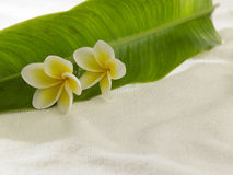 Frangipani amarelo branco Imagens de Stock Royalty Free