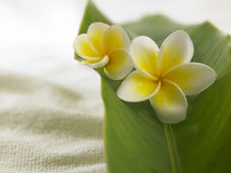 Frangipani amarelo branco Fotografia de Stock Royalty Free