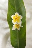 Frangipani amarillo Foto de archivo
