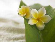 Frangipani amarillo blanco Fotografía de archivo libre de regalías