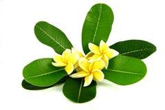 Frangipani amarillo y hoja verde. Foto de archivo