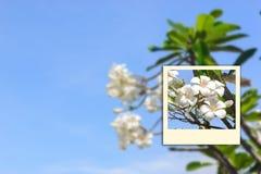 Frangipani auf Himmelunschärfe-Augenblickfoto Lizenzfreie Stockbilder