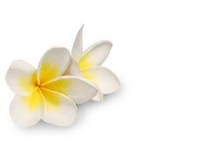 Frangipani auf weißem Hintergrund Stockbilder