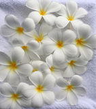 Frangipani Background Royalty Free Stock Photos